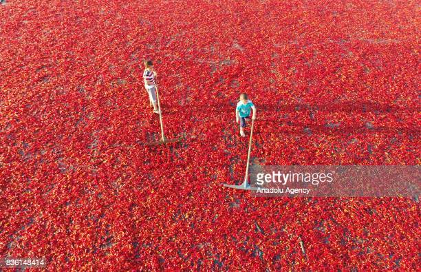 Children spread red chili peppers at a giant fabric on a sunny day in Sanliurfa Turkey on August 21 2017 After red chili peppers are separated from...