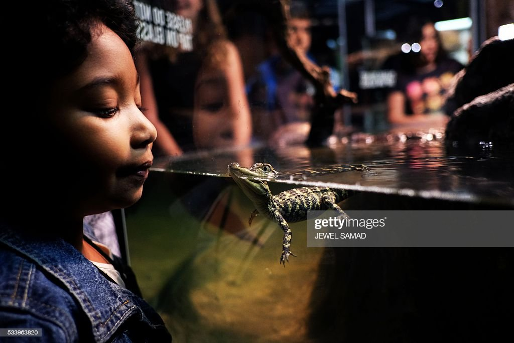 Children watch baby American alligators swimming in a tank at the American Museum of Natural History during the press preview of the exhibition 'Crocs: Ancient Predators in a Modern World' on May 24, 2016 in New York. The exhibition, which explore the complex lives of crocodiliansthe group including crocodiles, alligators, caimans, and gharialstheir evolutionary history, biology, behavior, and precarious relationships with human societies, will be open to public from May 28, 2016 to January 2, 2017. / AFP / JEWEL