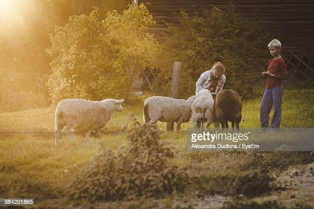 Children With Four Sheep On Grassy Field At Morning