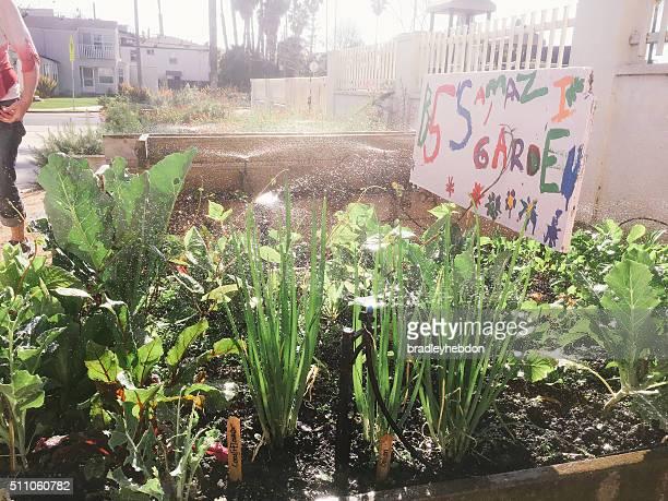 Children's school vegetable garden being watered