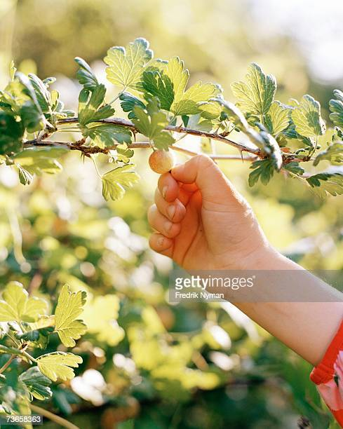 A child's hand picking gooseberries.