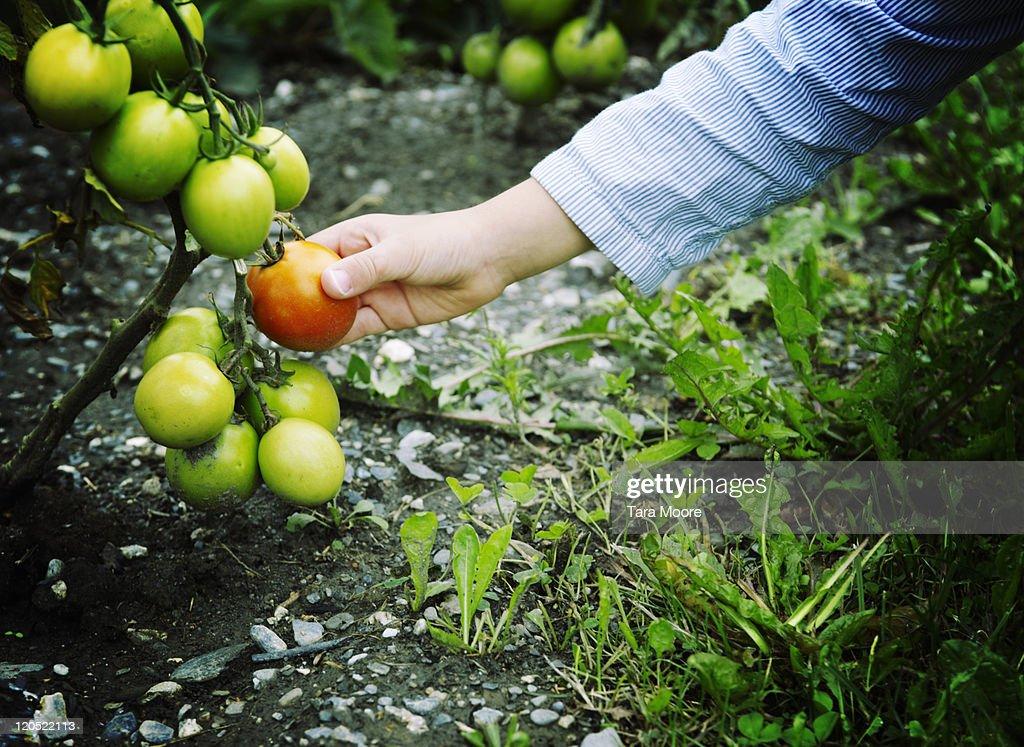 child's hand picking ripe tomato : Stock Photo