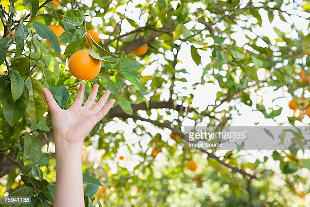 Childs hand reaching for an orange