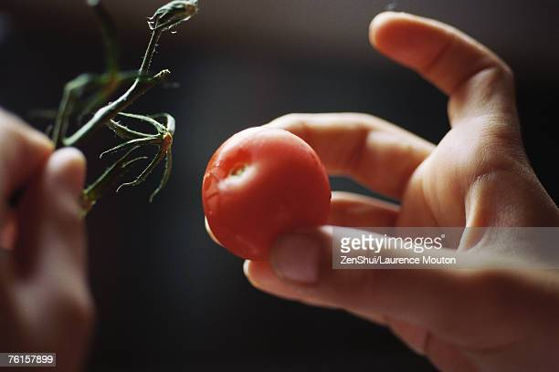 Child's hands taking tomato from vine