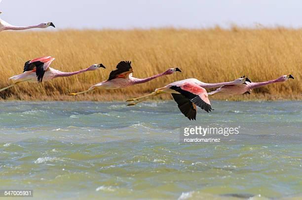 Chile, Altiplano, Flamingos flying over lake