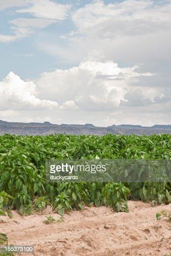 Chile Field near Hatch, New Mexico, USA