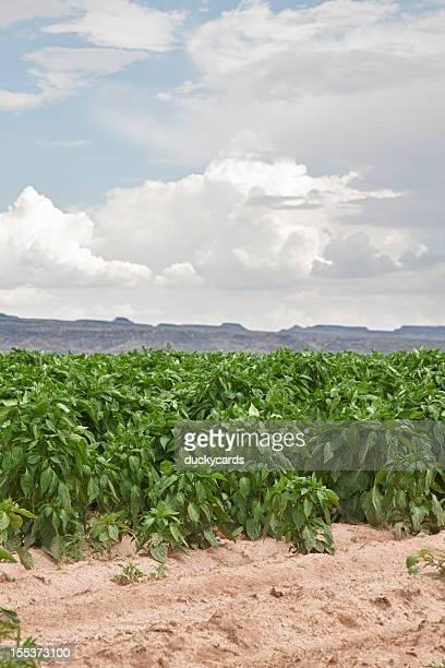 Chili Field à proximité de Hatch, au Nouveau-Mexique, Etats-Unis