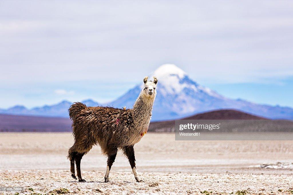Chile, Lama, Lama glama, standing in the Atacama Desert