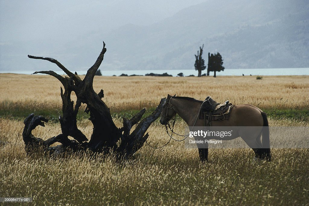 Chile, Patagonia, horse tied to dead tree : Stock Photo