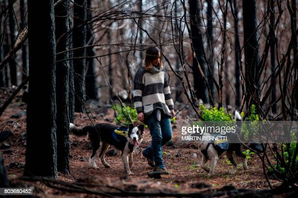 Chilean Francisca Torres dog trainer and member of animal activism group Pewos walks with her border collies while they sow tree seeds in an area...