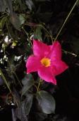 Chilean jasmine Apocynaceae