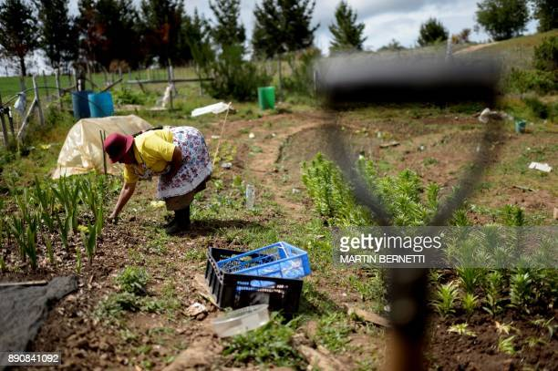 Chilean Mapuche Maria Collonao works outside his home in Temulemu Temuco on November 9 2017 The Mapuches which represent about 7% of the Chilean...