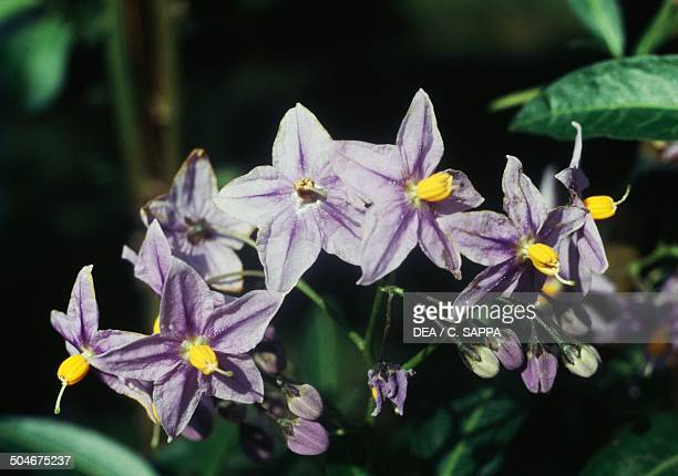 Chilean potato vine or Chilean nightshade flowers Solanaceae