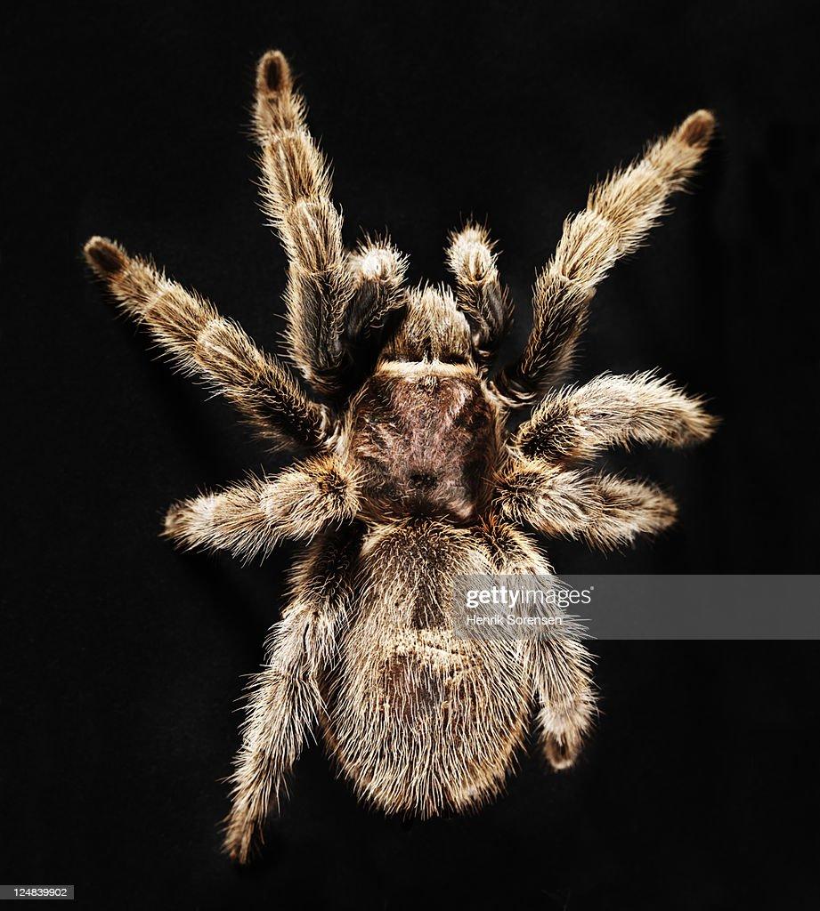 Chilean Rose Tarantulas : Stock Photo