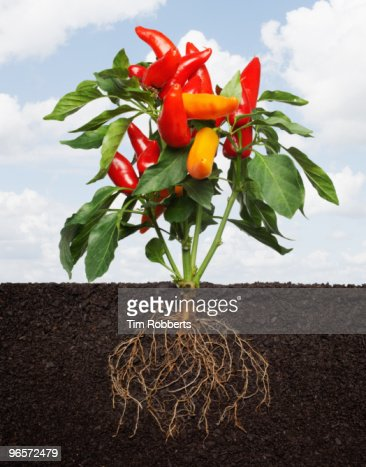 Chili Pepper plant growing in soil with roots.
