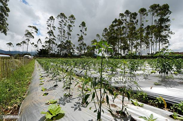 Chili pepper plants grow at a plantation at Bank Indonesia's vegetable cluster program in Pangalengan West Java Indonesia on Monday April 27 2015 The...