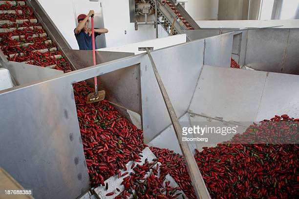 Chili peppers ride up a conveyor belt before being washed and ground up for Sriracha hot sauce at the Huy Fong Foods Inc facility in Irwindale...