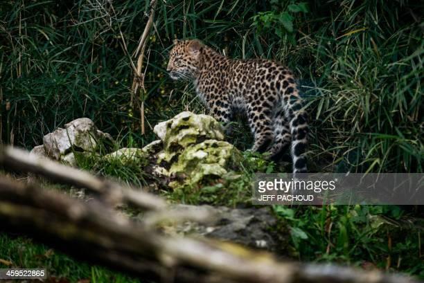 Chilka a four months Amur Leopard walks around its enclosure at the 'Parc de la Tete d'Or' park in Lyon on December 27 2013 The Amur Leopard a very...