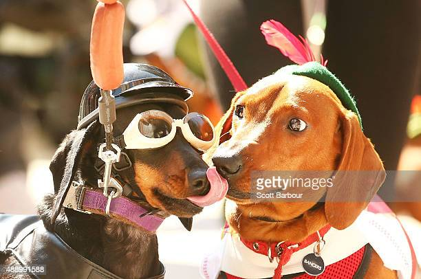 Chilli dressed as a biker dog licks Bangers as they compete in the Hophaus Southgate Inaugural Best Dressed Dachshund on September 19 2015 in...