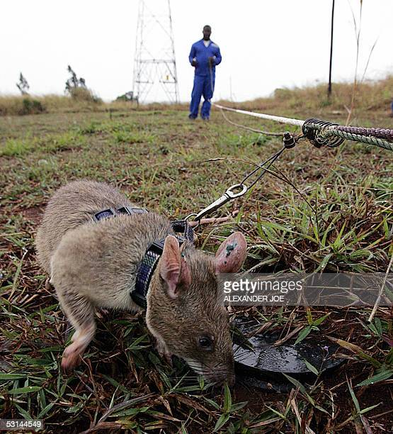 Picture taken 24 June 2005 shows one of the nine African rats sniffing out a landmine in Chimoio Mozambique Twelve years after the end of a brutal...