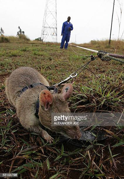Picture taken 24 June 2005 shows one of the nine African rats helping Mozambique to sniff out landmines Twelve years after the end of a brutal civil...