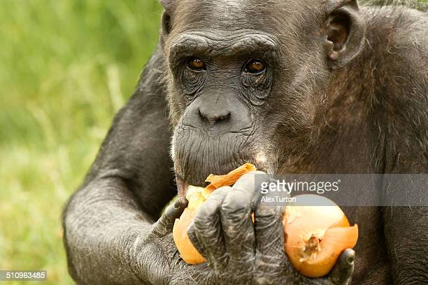 Chimp eating an onion
