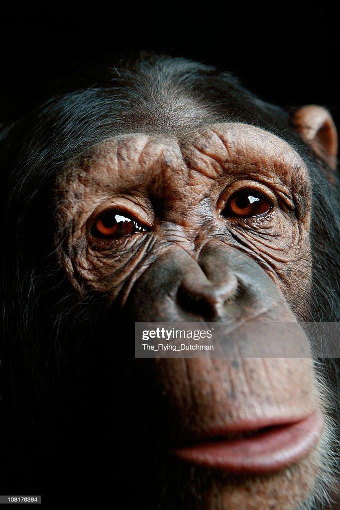 Chimp : Stock Photo