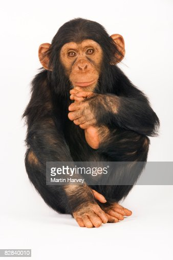 Chimpanzee against white background. : ストックフォト