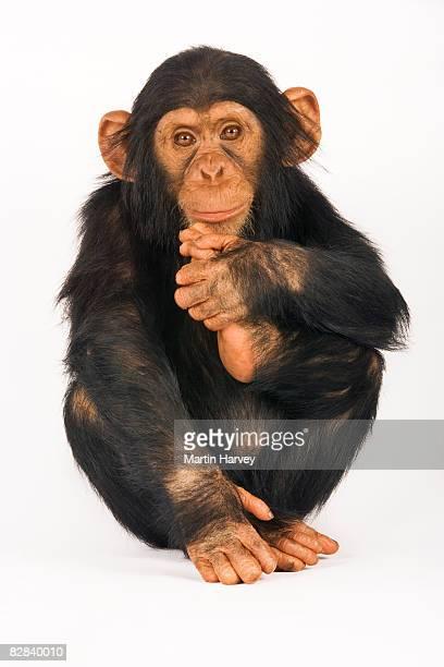 Chimpanzee against white background.