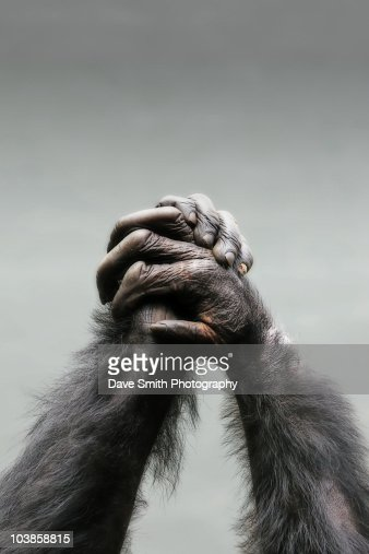 Chimpanzee arms and hands