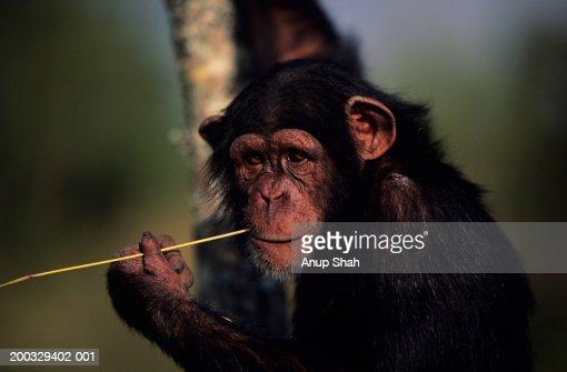 Chimpanzee (Pan troglodytes) biting straw, looking away, Kenya, close-up : Stock Photo