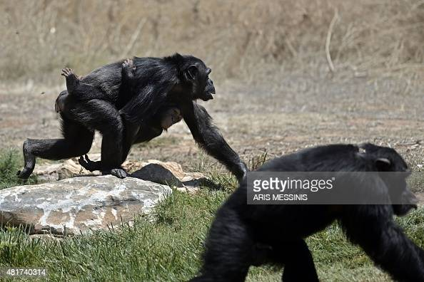 END A chimpanzee carries her baby at the Attica Zoological Park in Spata near Athens on July 23 2015 Between a zoo struggling to import food for its...