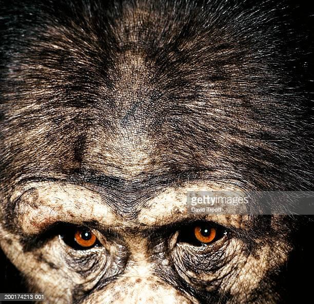Chimpanzee (Pan troglodytes), detail