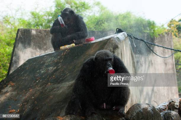 Chimpanzee drinks cold fruit juice given by a zoo keeper during a hot day at Dusit Zoo in Bangkok Thailand