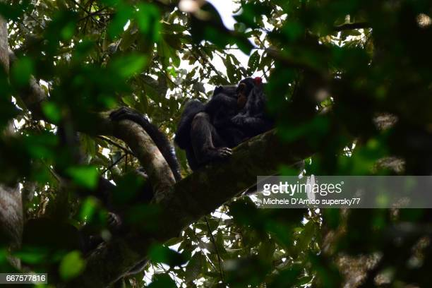 Chimpanzee family grooming on a branch of a tall tree.