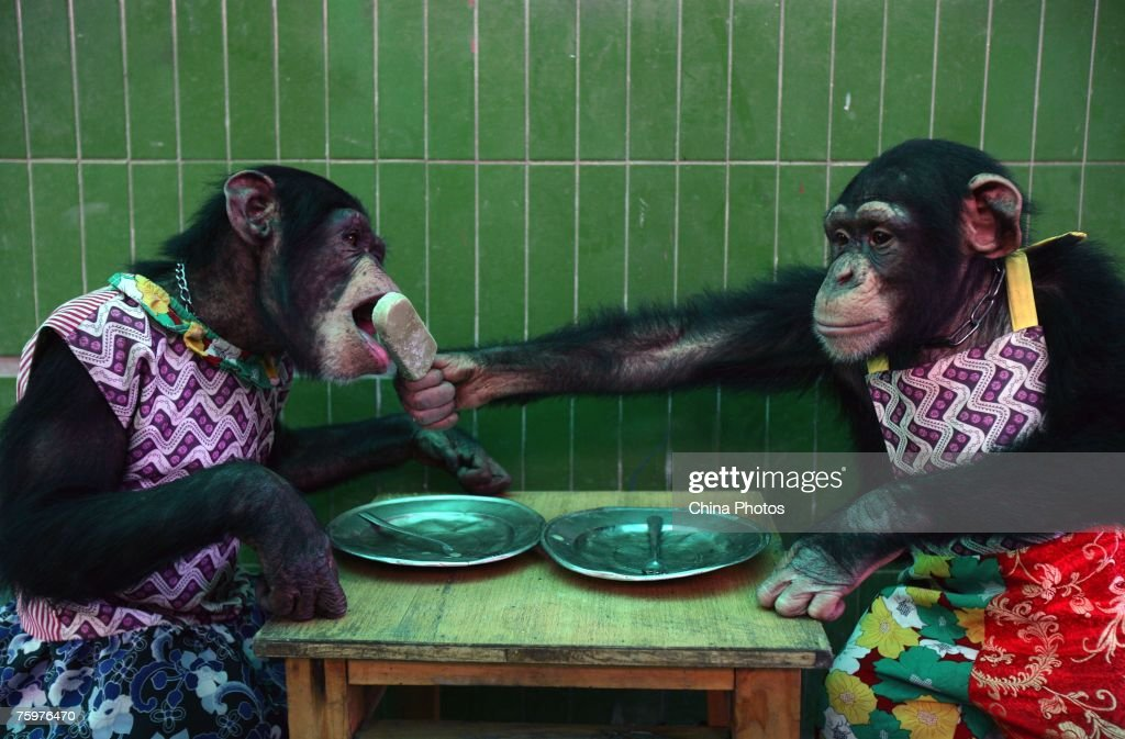 A chimpanzee feeds another chimpanzee with an ice pop at the Chongqing Safari Park August 5, 2007 in Chongqing Municipality, China. The park, which has 30,000 animals in 430 categories, keeps animals cool during a heatwave as temperatures hit 38 degrees Celsius (100 degrees Fahrenheit).