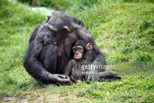 Chimpanzee holding baby