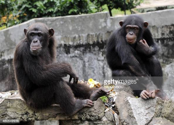 A chimpanzee holds a lettuce at the zoo in Abidjan on June 12 2014 The zoo is home to approximately 250 amimals of 42 species AFP PHOTO/SIA KAMBOU