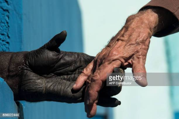 A chimpanzee holds the hands of Pedro Ynterian President of the Great Apes Project at a sanctuary for apes in Sorocaba some 100km west of Sao Paulo...