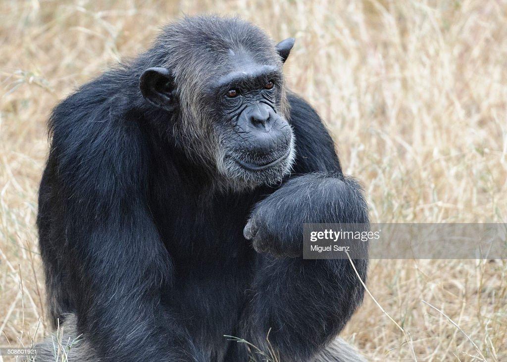 Chimpanzee in Sweetwaters Chimpanzee Sanctuary : Foto de stock