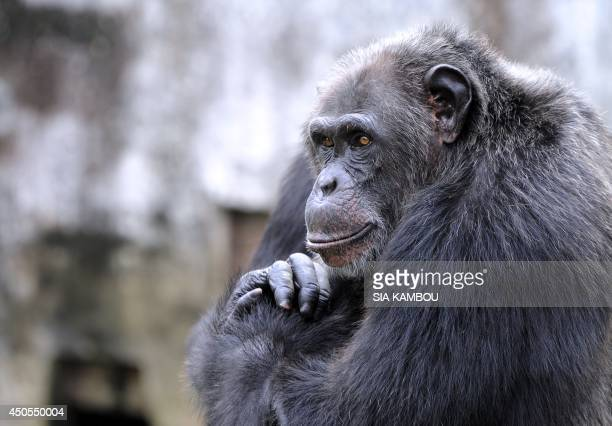 A chimpanzee is seen at the zoo in Abidjan on June 12 2014 The zoo is home to approximately 250 amimals of 42 species AFP PHOTO/SIA KAMBOU