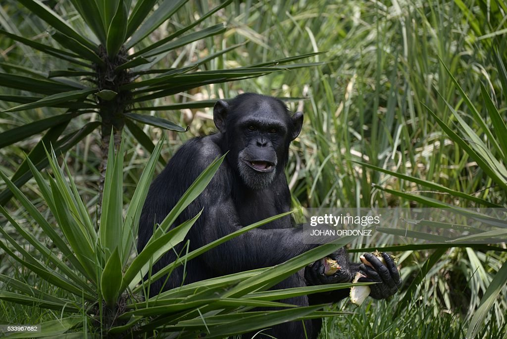 A chimpanzee is seen in a new enclosure at the Aurora zoo in Guatemala City on May 24, 2016. La Aurora Zoo inaugurated Tuesday an enclosure to house a family of six chimpanzees donated by Sweden, reported the park managers. / AFP / JOHAN