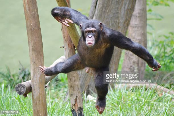 Chimpanzee Jumping By Trees On Grassy Field