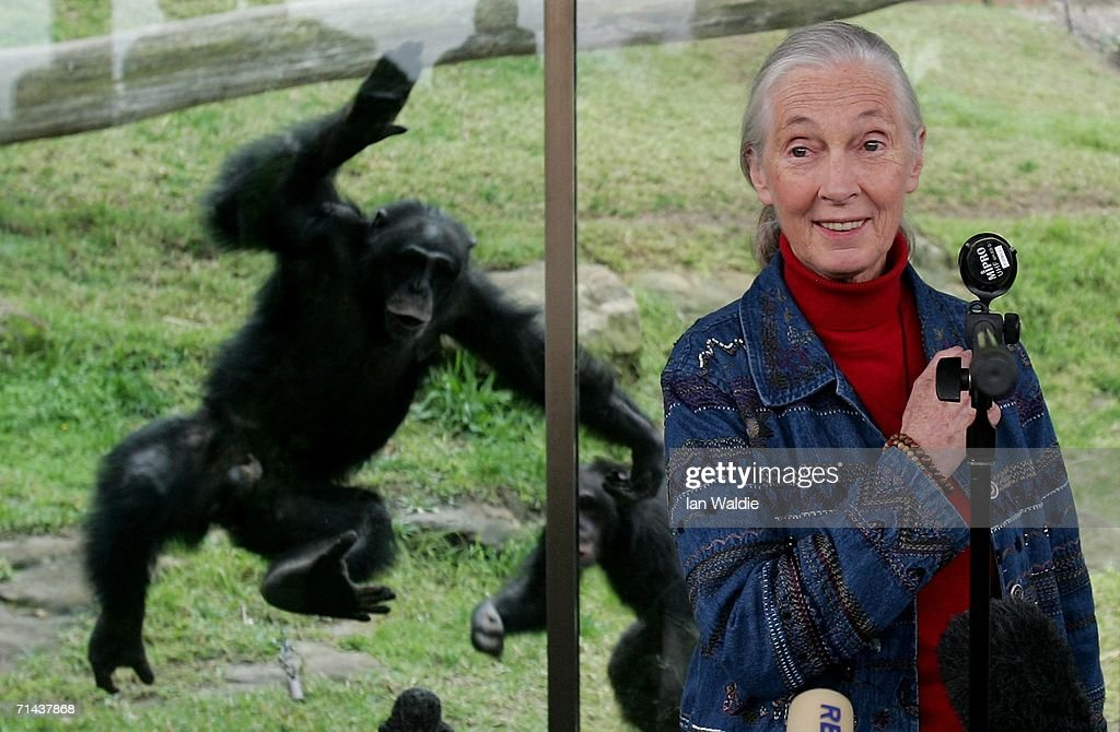 A Chimpanzee jumps at a glass screen as primatologist Dr. Jane Goodall holds a press conference at Taronga Zoo July 14, 2006 in Sydney, Australia. Dr Goodall visited the zoo to raise awareness of the plight of wild Chimpanzees. The zoo's colony of Chimps includes several family groups, and three of the oldest Chimpanzees in zoos.