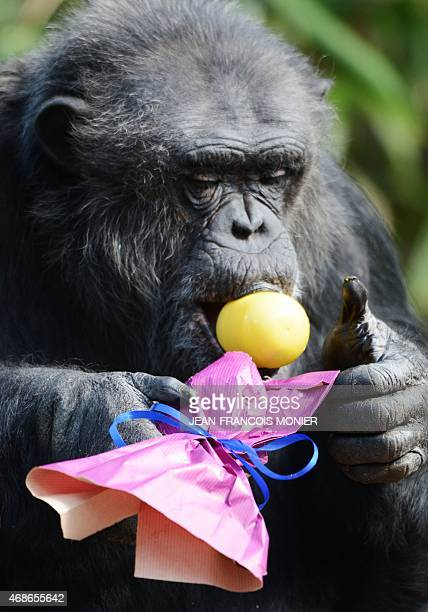 A chimpanzee looks for its treat after opening a wrapped plastic egg on Easter at the zoo in La Fleche western France on April 5 2015 AFP PHOTO /...