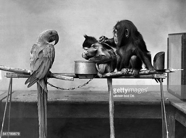 chimpanzee macaque and cockatoo Photographer GPA 1928Vintage property of ullstein bild