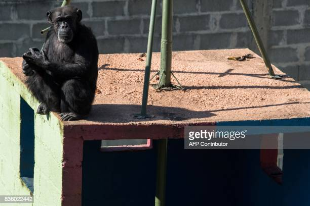 A chimpanzee named Cecilia is seen at the Great Apes Project a sanctuary for apes in Sorocaba some 100km west of Sao Paulo Brazil on July 28 2017 The...