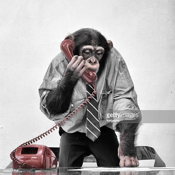 Schimpansen-Gattung am Telefon