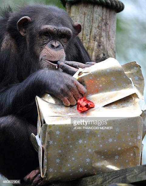 A chimpanzee opens a Christmas package filled with food at the zoo in La Fleche western France on December 23 2014 AFP PHOTO / JEANFRANCOIS MONIER