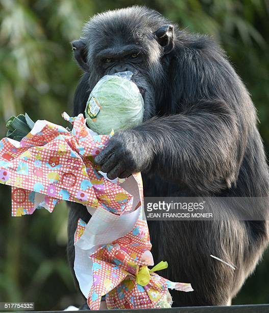 A chimpanzee opens a package containing food and wrapped as an Easter gift at the zoo in La Fleche northwestern France on March 27 2016 / AFP /...